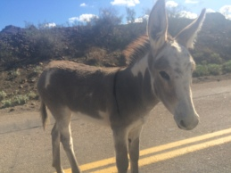 The wily leader of the Wild Burros street gang, Oatman AZ.