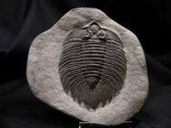 A trilobite fossil.