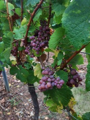 Grapes at Mt. Sigolshiem