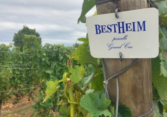 Identity of grapes being grown at Mt. Sigolsheim